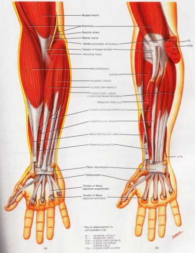 Forearm muscle diagram