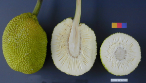 Breadfruit and cross-section