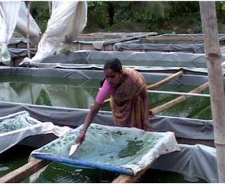 Local woman collecting the dry Spirulina