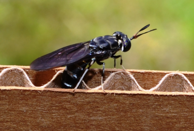 Black Soldier Fly laying eggs in cardboard
